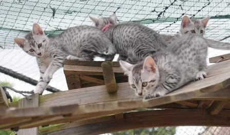 Egyptian Mau kittens at play