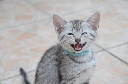 laughing Egyptian Mau kitten