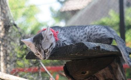 Egyptian Mau kitten at play