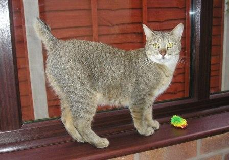 Pixie Bob Cat - Breed Profile and Facts