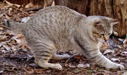 Pixie Bob cat playing