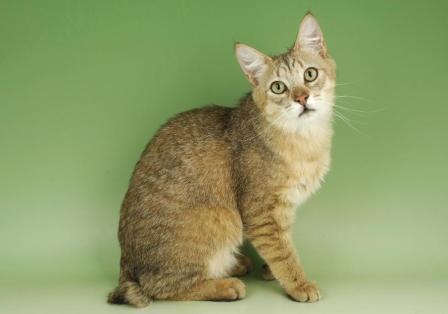 male Pixie Bob cat