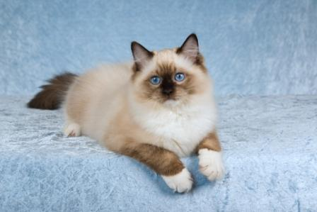 Ragdoll Cat - History and Myths