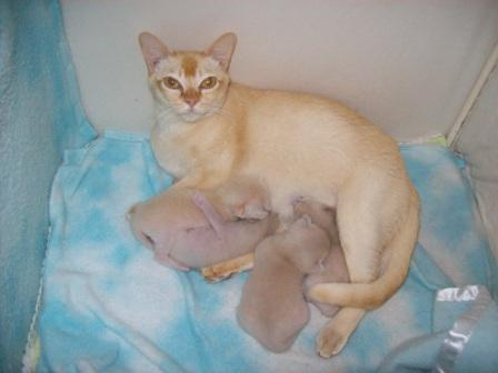 Burmese cat mother and kittens