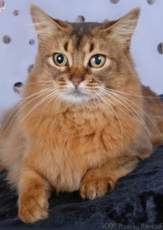 gorgeous Somali cat
