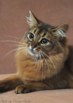 semi-longhaired Somali cat