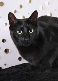 Russian Black cat