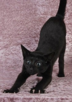 Russian Shorthair or Black Russian kitten