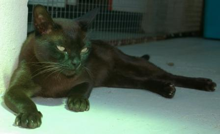 brown Burmese cat