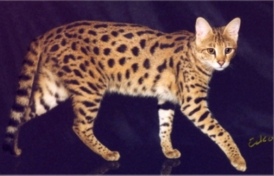 3rd Generation Savannah Cat