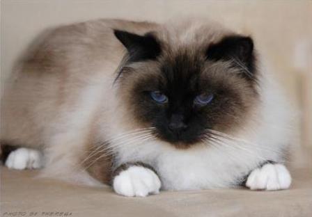 seal point Birman cat