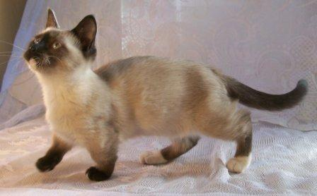 Seal Point Munchkin cat