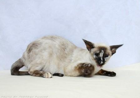 seal-tortie-point-siamese-cat-facts-7.jpg