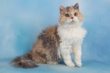 Selkirk Rex cat dilute tortie and white
