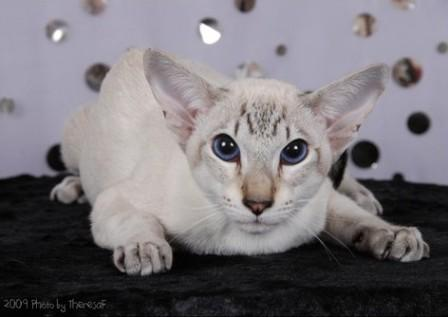 seal tabby point Siamese cat