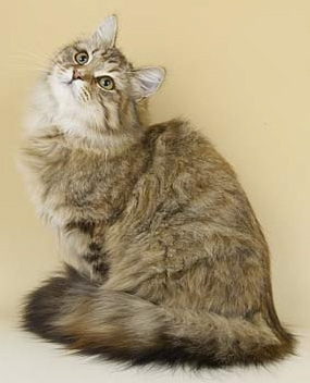 Brown Tortie Tabby Siberian cat