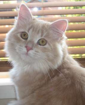Cream Tabby Siberian cat