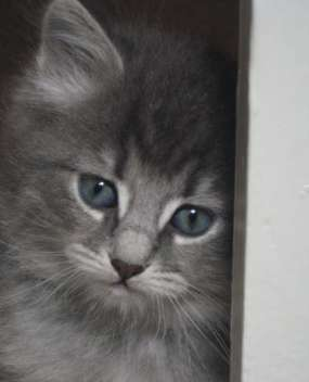 Blue Tabby Siberian Forest kitten