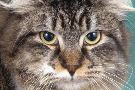 Brown Tabby and white Siberian Forest cat