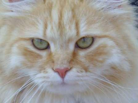 Red Mackerel Tabby and white Siberian Forest cat