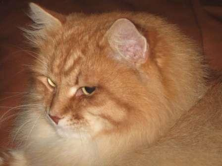 Siberian Forest cat   Red Spotted Tabby