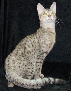silver Serengeti cat
