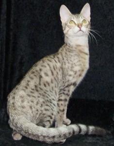 silver Serengeti cat