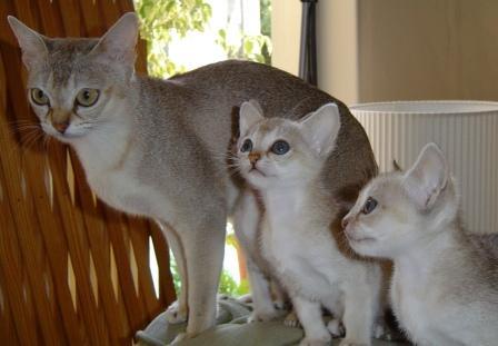 Singpura cat and kittens