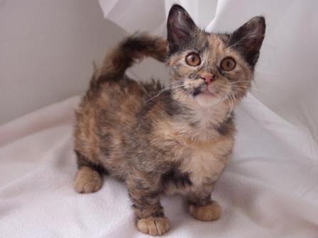 short haired Skookum cat