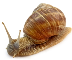 snail causes lung worm