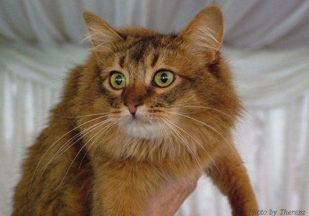 somali cat, ruddy color