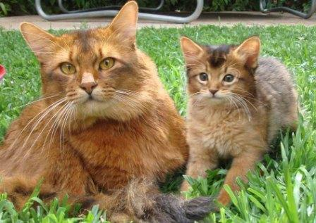 Somali cat and kitten
