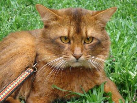 Somali cat, ruddy color