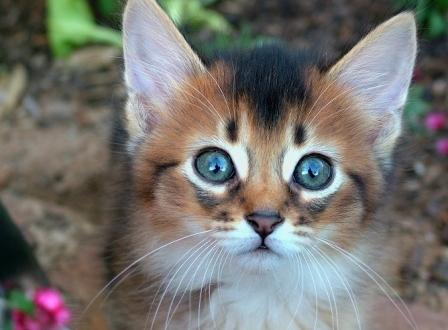 ruddy Somali kitten