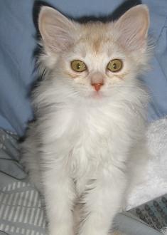 sorrel silver Somali kitten