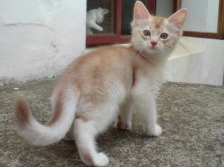 silver sorrel Somali kitten
