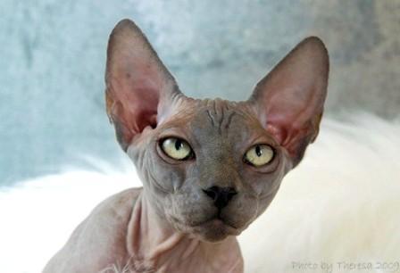 blue Sphynx cat