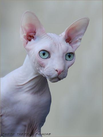 Sphynx - Pr Exposed Neobells Gandolf, bred by Anthony and Theresa Aldum