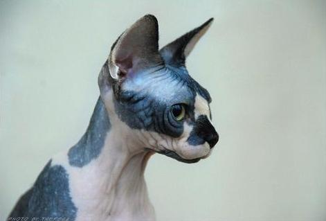 © Theresa Fouche | Sphynx cat Exposed Razzmatazz | Breeder: L Anthony & Theresa Aldum