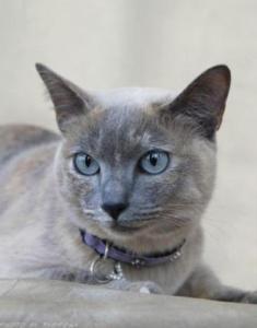 blue mink Tonkinese cat