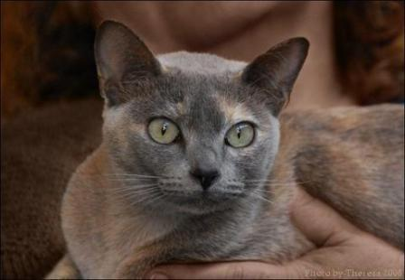 blue solid tortie Tonkinese