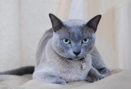 Tonkinese Cat, solid blue |Sp Pr Loeloeraai Maska Hinto |bred by Jeanine Grobbelaar |owned by Sonya  & Andre Schwartz