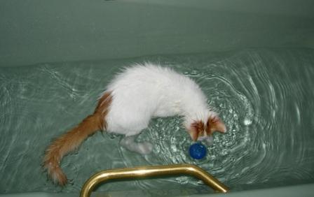 Turkish Swimming Cat