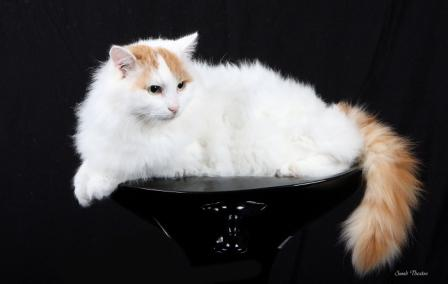 8c69343490 Turkish Van Cat - Breed Profile and Facts