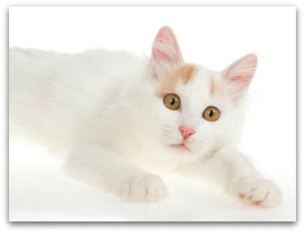 bec4b7040f Turkish Van Cats - Origin and History