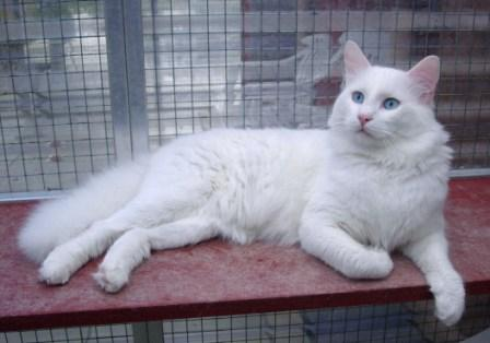 40a3b85779 Turkish Van Cat - Breed Profile and Facts