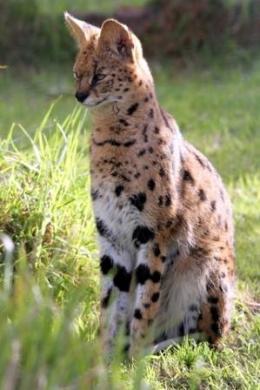 wild serval cat