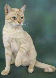 gold spotted australian mist cat