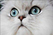 healthy cat eyes