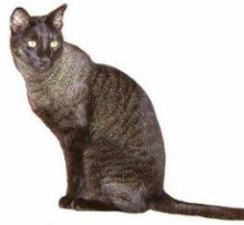 Black Grizzled Chausie cat